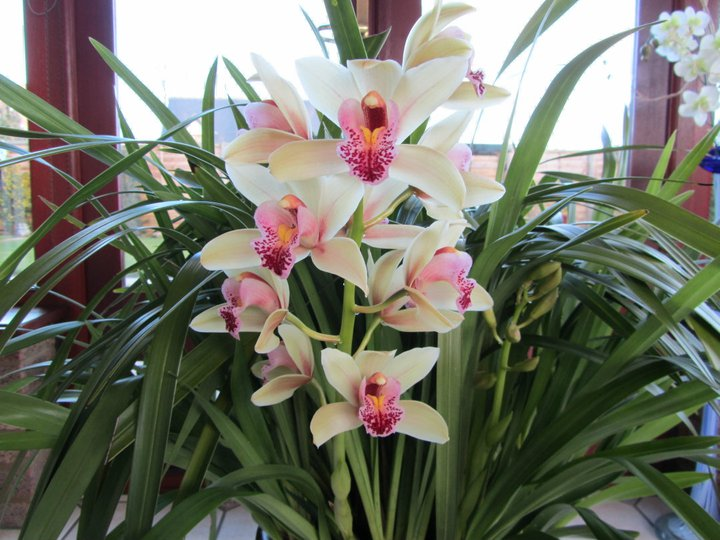 Cymbidium care how to care for your cymbidium orchids How do you care for orchids after they bloom