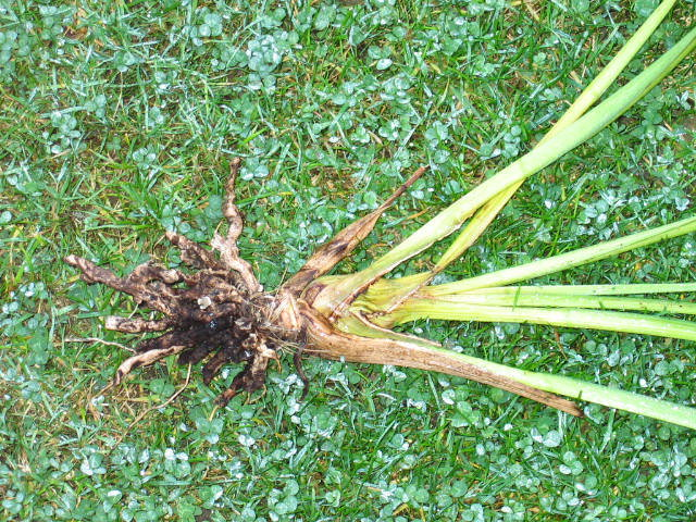 Root rot means your Cymbidium roots deteriorate