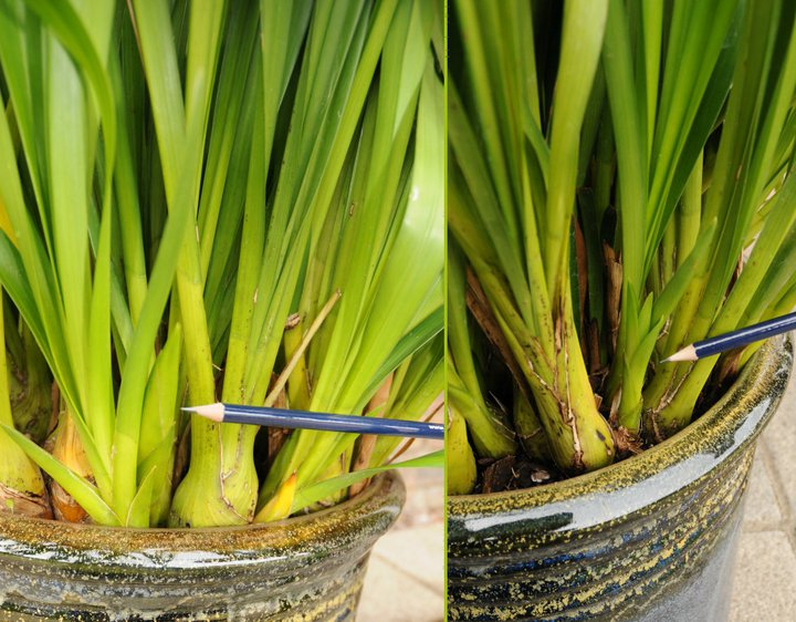 How To Repot Cymbidium Orchids A Step By Step Photographic