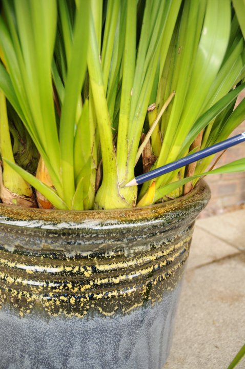 Remove leafless Cymbidium pseudobulbs
