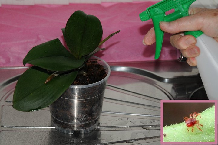 Misting Phalaenopsis orchids leaves occasionally is beneficial