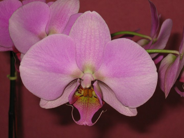 Phalaenopsis moth orchid are easiest to grow