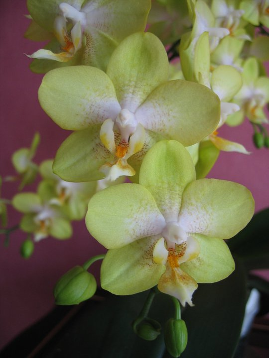 Phalaenopsis moth orchids come in many green colors