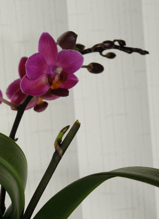 a new stem will develop from one of the phalaenopsis nodes