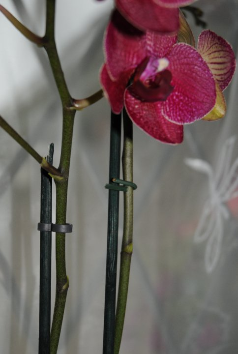Staking the flowering stem of your phalaenopsis