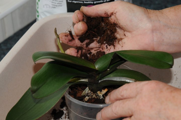 continue to fill phalaenopsis pot with compost