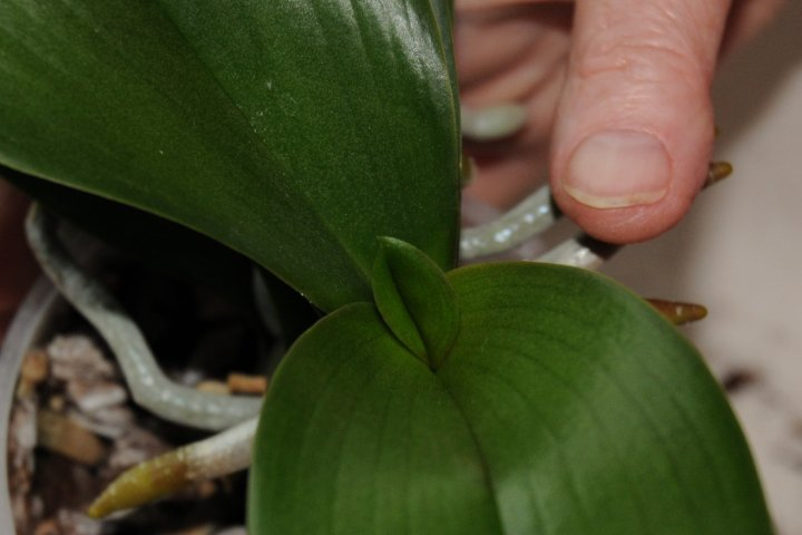 new inner phalaenopsis leaf emerging from the centre of the plant