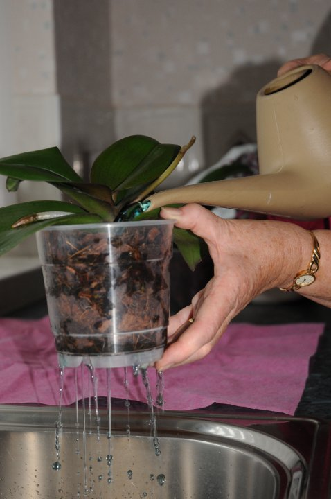 Pour water through the orchid compost